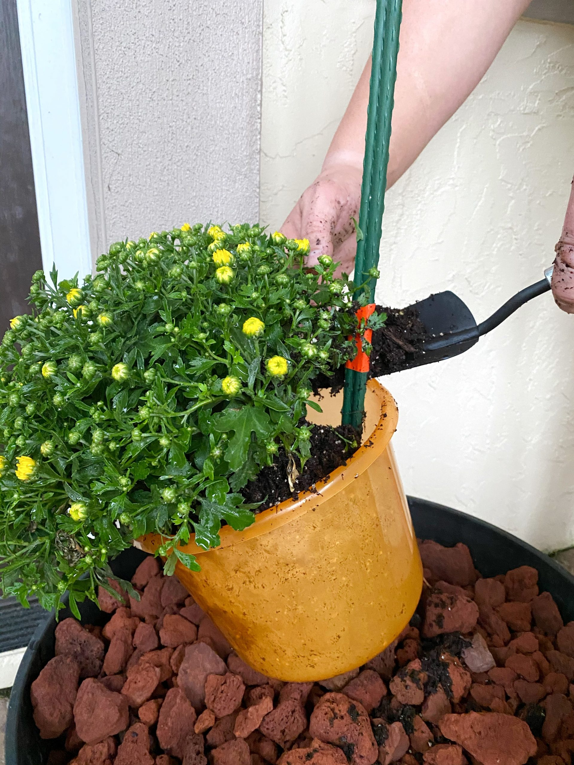 adding soil to halloween bucket filled with mums